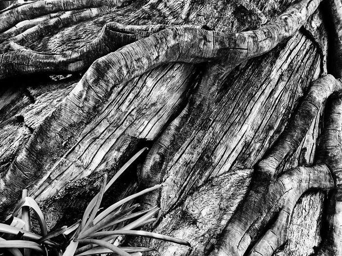 Root Roots Roots Of Tree Root Of A Tree Root Of The Tree Root Of Tree Texture Texture Photography Black And White Black And White Photography Black And White Collection  Textured