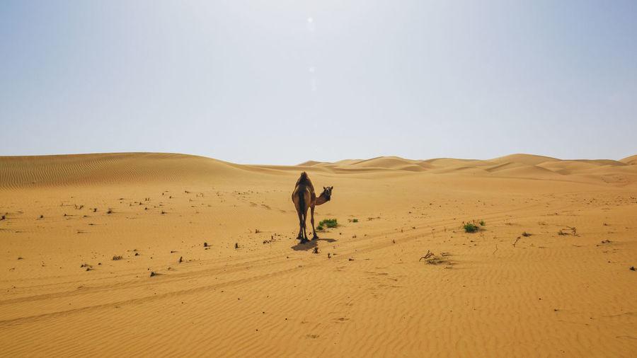 Camel walking on sandy desert against sky