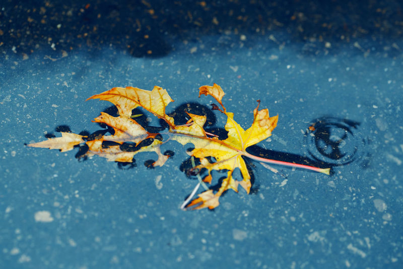 Close-up of maple leaves on water