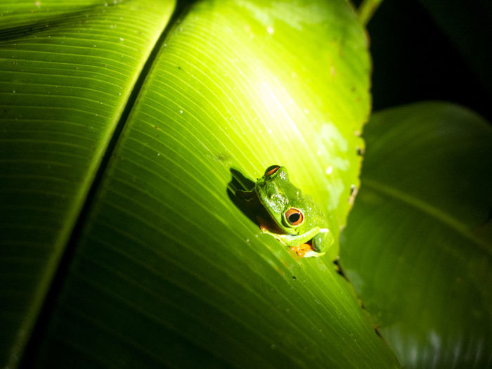 Rainforest of costa rica near boca tapada.a green poison dart frog sits on a banana leaf.