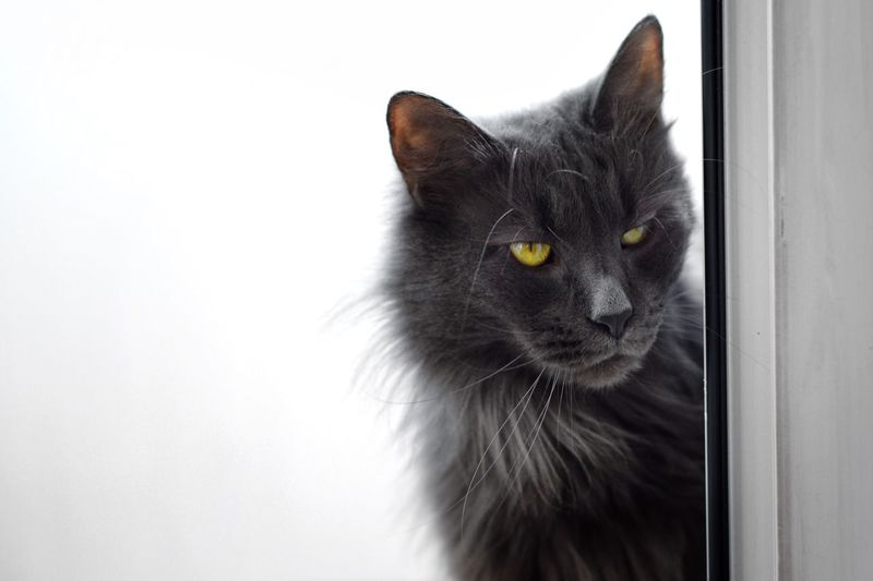 Pets Animal One Animal Mammal Domestic Domestic Animals Animal Themes Whisker White Background Animal Body Part Close-up Black Color Domestic Cat Indoors  No People Cat Vertebrate Feline Looking Looking Away