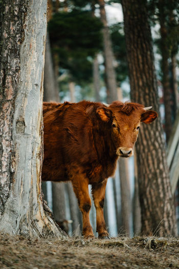 Young cow behind tree trunk in forest