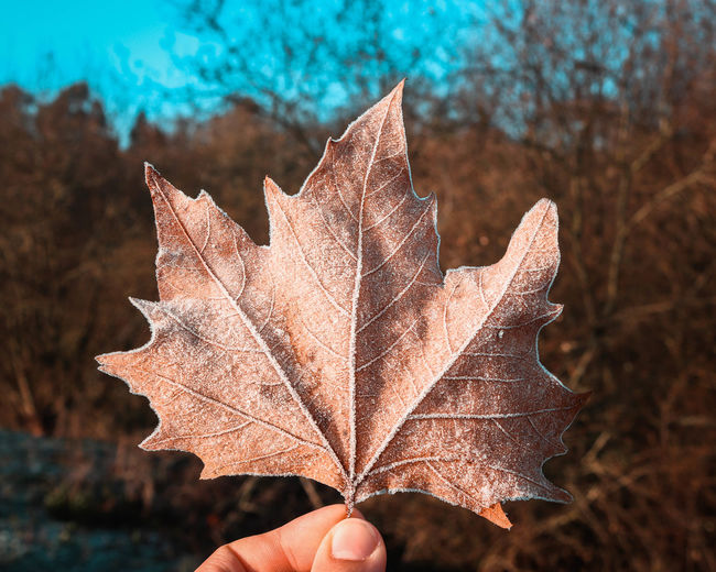 Cropped hand of maple leaf during winter