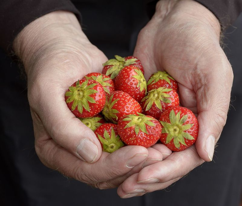 Close-up Colour Red Food Freshness Hands Holding Human Finger Organic Precious Showing Strawberry Summer