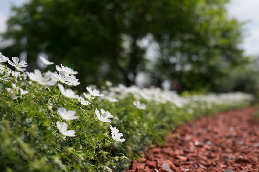 pathway Beauty In Nature Close-up Day Field Flower Flowering Plant Fragility Freshness Green Color Growth Land Nature No People Outdoors Pathway Plant Selective Focus Tranquility Tree Vulnerability  White Color