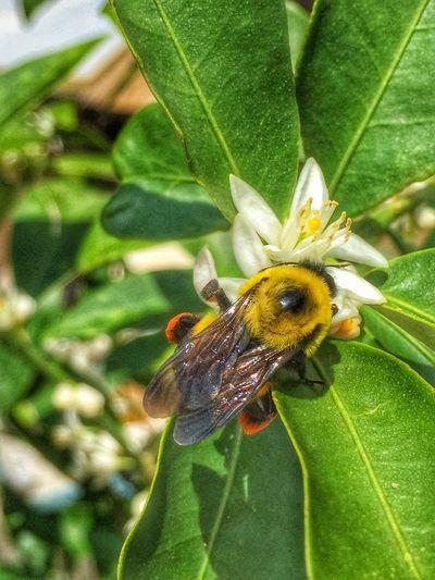 Bumble bee on lemon blossom Bee Bumblebee Bumble Bee Blossom Lemon Flowers