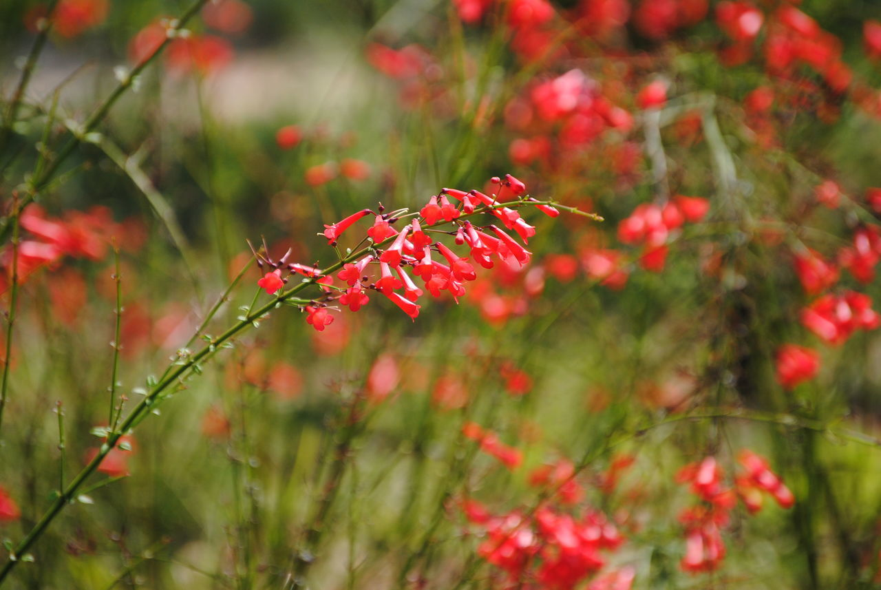 red, growth, nature, plant, no people, outdoors, focus on foreground, day, beauty in nature, fragility, animals in the wild, animal themes, flower, close-up, grass, freshness
