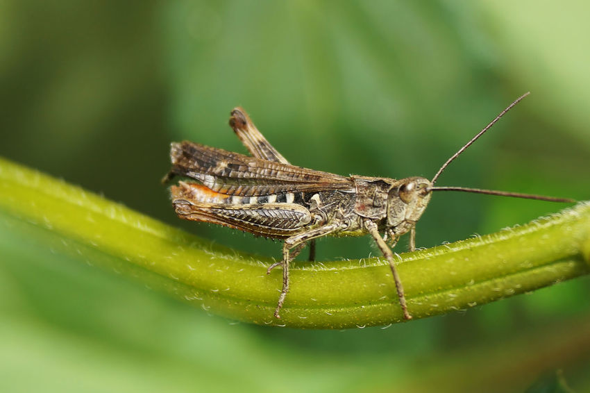 Bugs Macro_collection Nature Green Macro Grasshopper кузнечик макро Pet Portraits