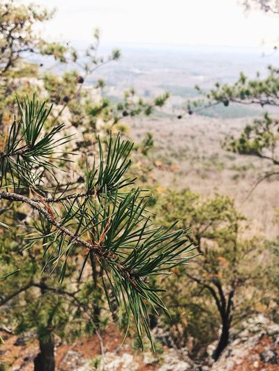 Close-up of pine tree by sea against sky