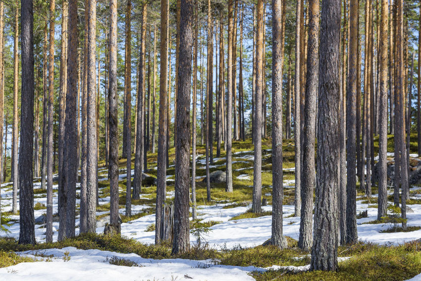 Planet Earth Nature Photography Forest Photography Pine Forest Tree Snow Winter Pine Tree Pinaceae Forest Sky Tree Trunk Pine Woodland Countryside Tranquil Scene Idyllic Tranquility Calm WoodLand