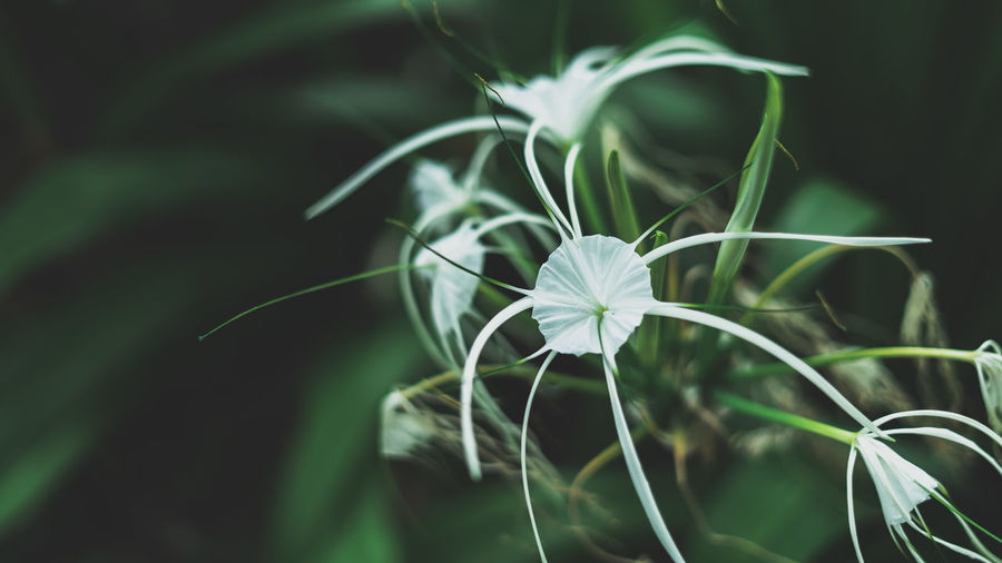 Close-up of white flowering plant,spider lily.
