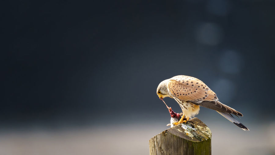Common kestrel Falco tinnunculus, male, eating mouse on stake Animal Wildlife Animal Themes Animal Animals In The Wild Bird Vertebrate One Animal Focus On Foreground Copy Space Bird Of Prey Perching Wood - Material No People Nature Day Close-up Outdoors Post Sunlight Food Wooden Post Mouth Open Falcon - Bird Kestrel Kestrel Falcon Common Kestrel Falco Tinnunculus Mouse Prey