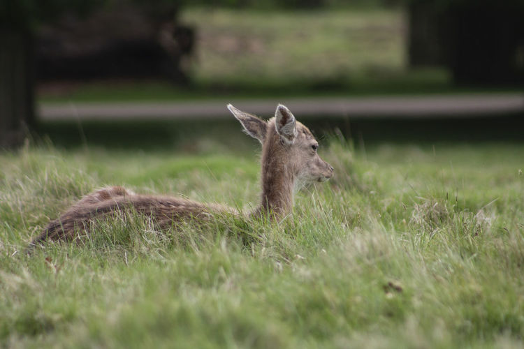 View of deer on grass