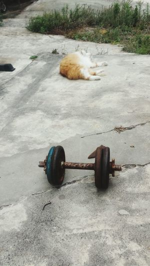 Doun sone weights with my firy ginger friend lol Weights Homegym Calisthenics Cats Animals