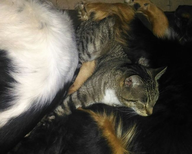 kitty has a doggie pillow. Cats And Dogs Cat Lovers Cat Pets Sleepy Cat Cat Sleeping On Dog Dog Pillow Kitty Kitty Sleeping Dogs And Cats Living Together Dogs And Cats Sleeping Together Tabby Cat Pet Lover Pet Life  Pet Lifestyle No People Black Background Indoors  Nature