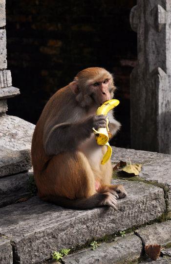 Monkey Eating Banana At Temple