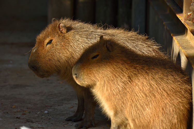 Close-up of capybaras in zoo