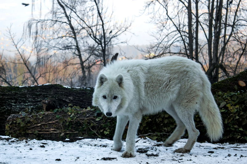 Animal Photography Animal Themes Bare Tree Cold Temperature Day Full Length Mammal Nature No People One Animal Outdoors Polar Wolf Portrait Sky Snow Standing Winter Wolf