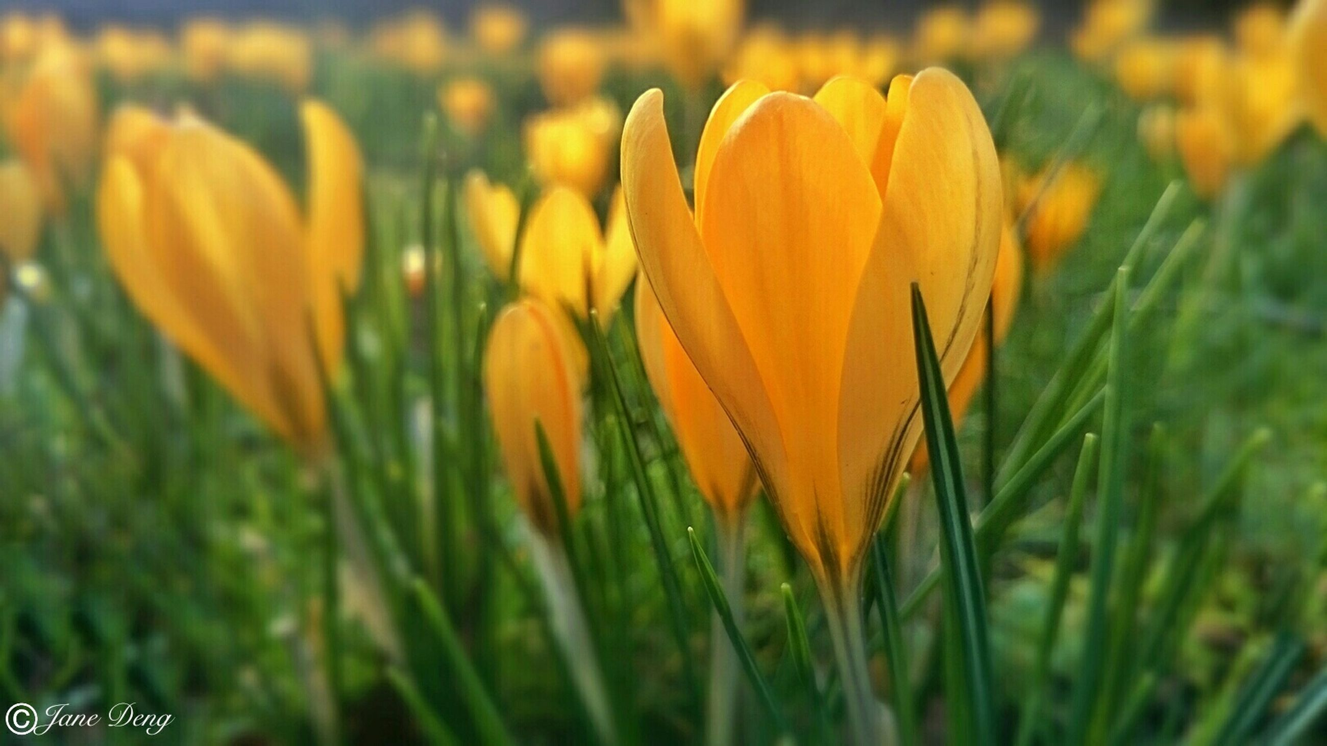 flower, growth, fragility, freshness, yellow, field, beauty in nature, petal, plant, focus on foreground, close-up, nature, flower head, blooming, selective focus, grass, stem, orange color, tulip, in bloom