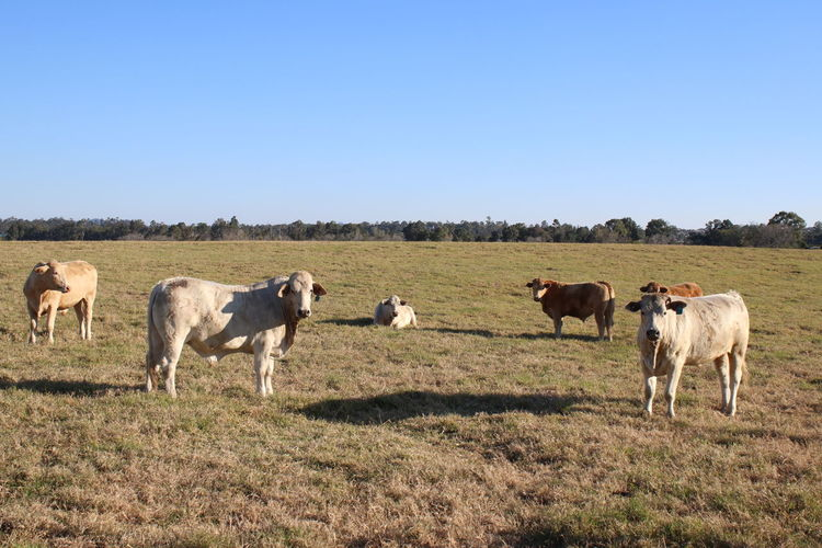 EyeEm Selects Agriculture Livestock Domestic Animals Rural Scene Mammal Taurus Outdoors Sky No People Nature Day Animal Themes Queensland Brisbane Moggill Cow Cows Cows In A Field Farm