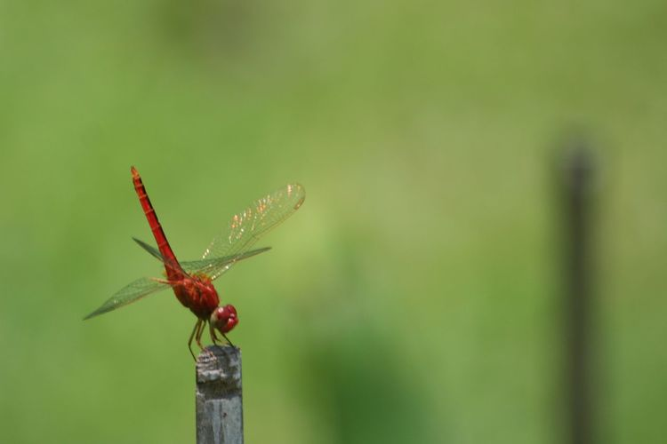 Dragonfly Insect Collection Close-up Dragonfly Photography Insect Insect Close Up Insect In Nature Insect Photography Insect Color Beautiful Insectใน Dusit, Thailand