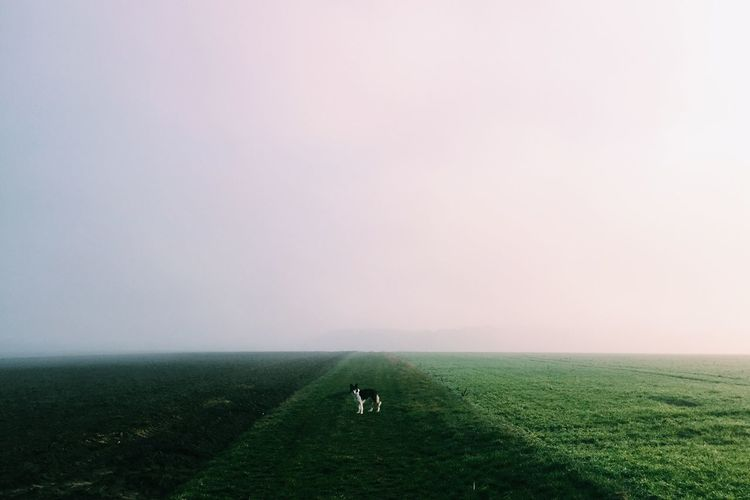Border collie standing on green rural field against sky in foggy weather