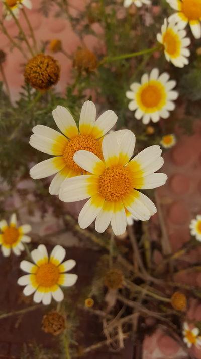 Spring Spring Flowers EyeEm Nature Lover EyeEmBestPics Cadiz Margaritas Warm Day Picoftheday Nature_collection Nikon Nikond3300