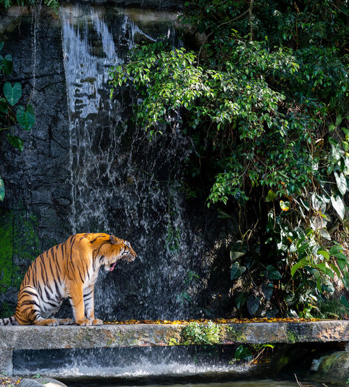 Roaring tiger standing front of waterfall Animal One Animal Animal Themes Mammal Tree Plant Vertebrate Nature Animal Wildlife Tiger Animals In The Wild Water Day Waterfall Side View Forest Motion No People Outdoors Flowing Water Rainforest