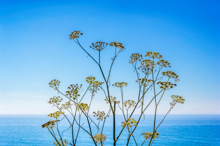 Wild fennel on the pacific coast, california