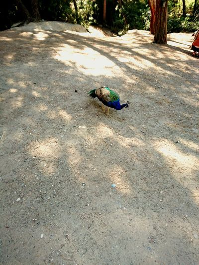 One Animal Animal Themes Day Outdoors Surface Level No People Zoology Tranquility Peacock Tranquil Scene Woods Shadow Greece Vibrant Color Nature Trees And Nature Woodlands Shade Cool Shady Trees
