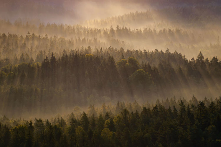 High angle view of pine trees growing in forest during sunrise
