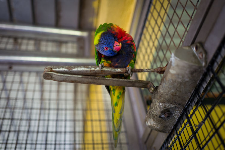 Kuala Lumpur Parrot Animal Bird Animal Themes Cage Vertebrate Animal Wildlife One Animal Animals In Captivity No People Multi Colored Perching Birdcage Animals In The Wild Metal Focus On Foreground Day Pets Domestic Trapped Rainbow Lorikeet