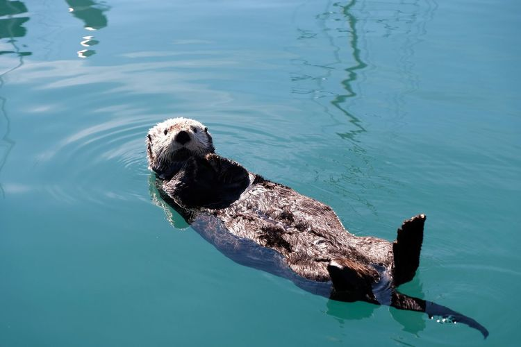 Floating otter