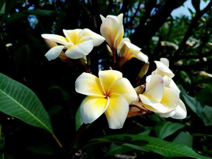 Beauty In Nature Close-up Day Flower Flower Head Flowering Plant Focus On Foreground Fragility Frangipani Freshness Growth Leaf No People Outdoors Plant Plant Part White Color Yellow