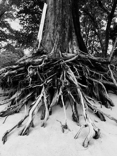 Khao Lak Tree