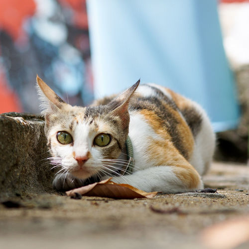 Close-up portrait of cat on footpath