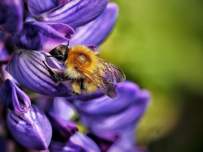Biene auf