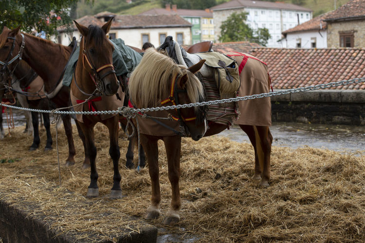 Saddle horses Mammal Livestock Horse Domestic Animals Animal Themes Group Of Animals Outdoors Building Exterior Day Asturias SPAIN Travel No People Village Festival Horizontal Autumn Cloudy Saddle Riding Working Animal