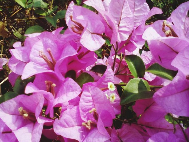 purple flowers in the garden Flower Pink Color Petal Plant Nature Growth Beauty In Nature Purple Outdoors Fragility Leaf No People Close-up Flower Head Day Bougainvillea Freshness