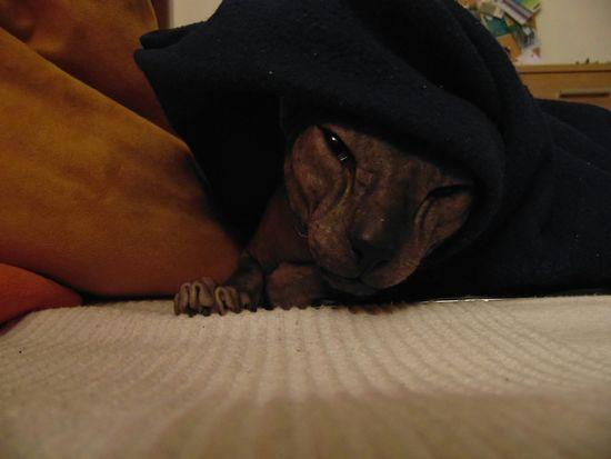 Perfect Match Cat Sphynx Cat Erwin Coach Orange Blanket Cat Under Blanket