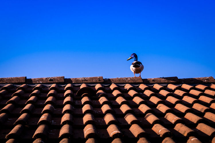 Duck on the roof