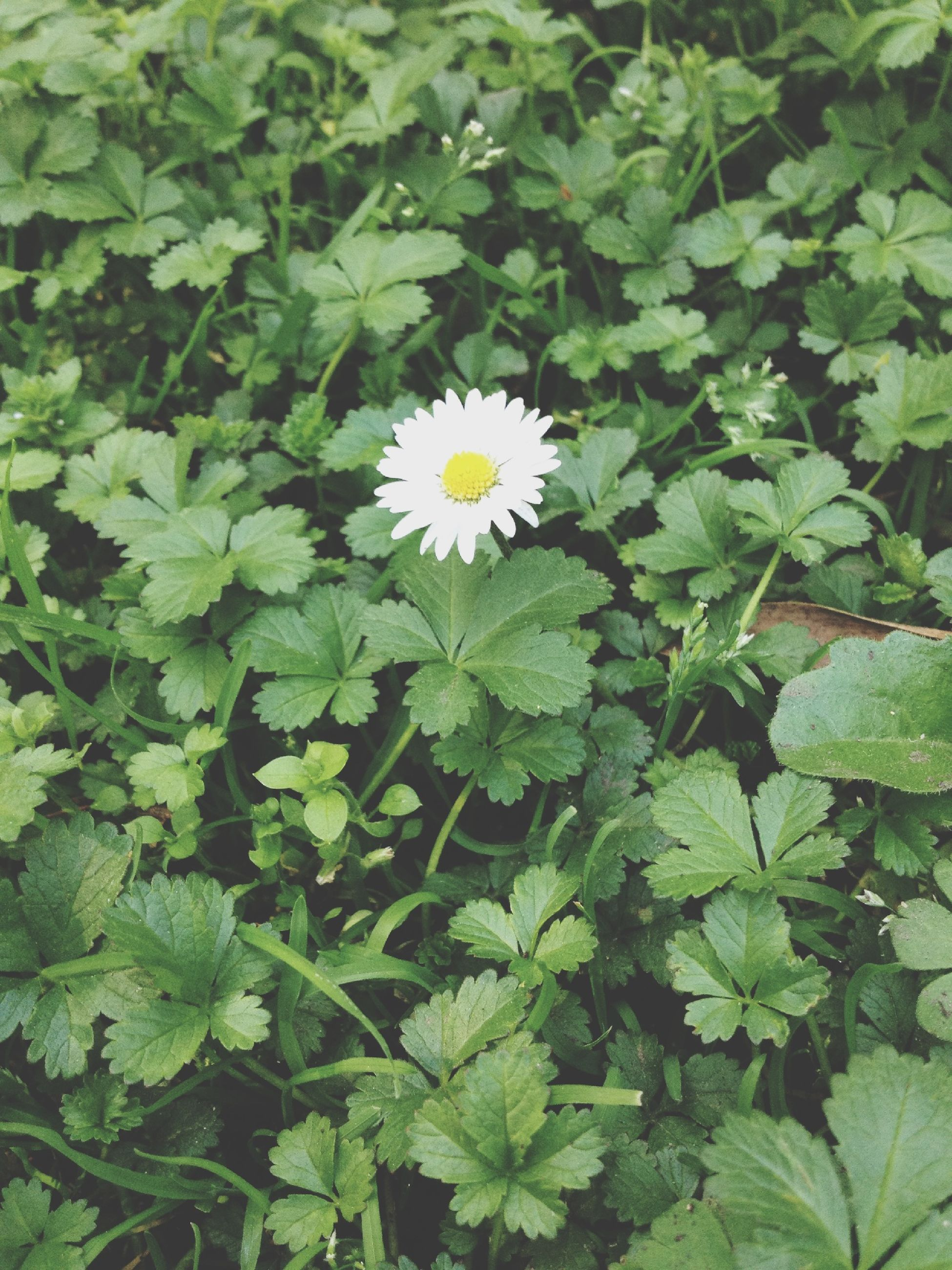 flower, freshness, growth, fragility, leaf, petal, green color, flower head, beauty in nature, plant, white color, blooming, nature, high angle view, in bloom, close-up, day, outdoors, green, daisy