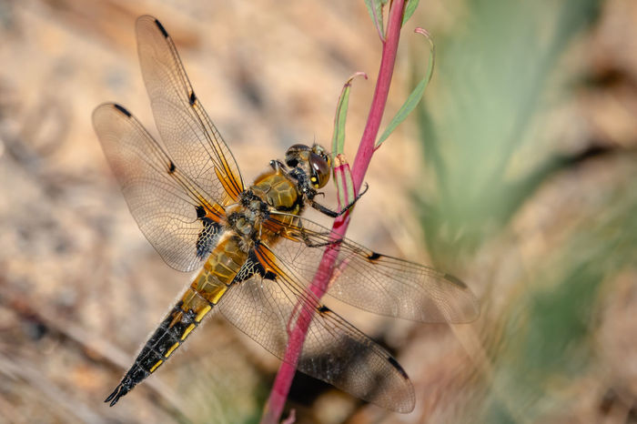Four-spotted Chaser Libellula Quadrimaculata Animal Animal Body Part Animal Eye Animal Themes Animal Wildlife Animal Wing Animals In The Wild Beauty In Nature Close-up Day Dragonfly Focus On Foreground Insect Invertebrate Nature No People One Animal Outdoors Plant Selective Focus Zoology