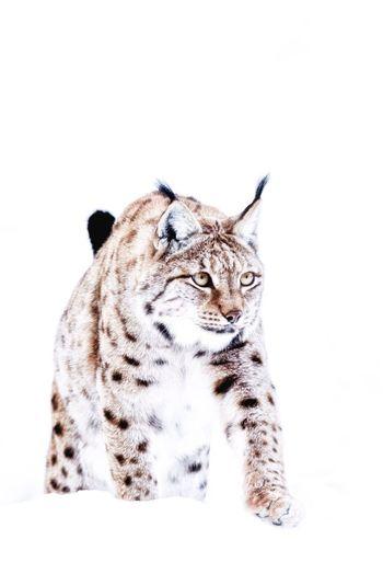 Lynx (agitare lyncas) Luchs Lynx One Animal Animal Themes Animal Wildlife Animals In The Wild Feline No People Mammal