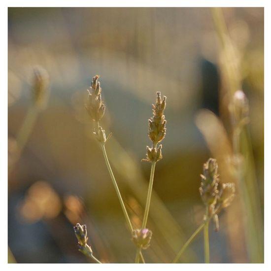 Fujinon 60mm Fujifilm_xseries Macro Nature Naturephotography Macro Photography Selective Focus Provence Close-up Summer Beauty In Nature Plant Macroclique lavander sunny light