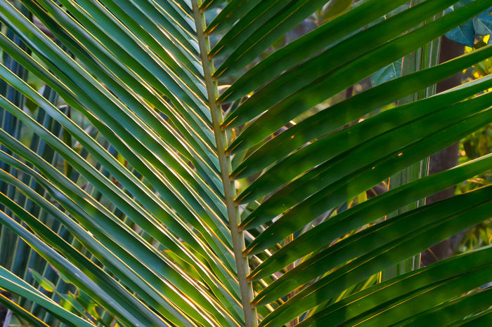 Golden Palm Leaves Palm Leaves Coconut Palm Tree Green Long Leaves Abstract Background Pattern Reflection Golden Light