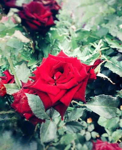 Flower Red Rose - Flower Leaf Petal Fragility Nature Close-up No People Growth Plant Beauty In Nature Flower Head Day Outdoors Freshness Water
