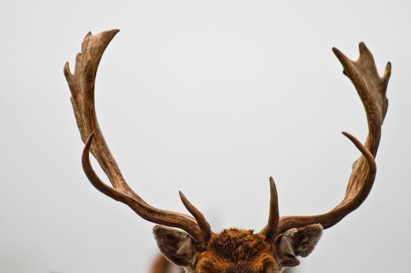 Close-up of antlers