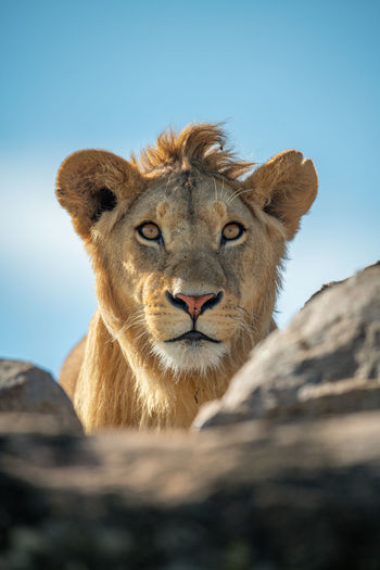 Young male lion eyes camera over rocks