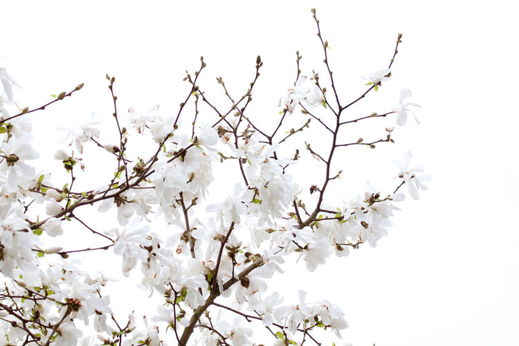 Flower Flowering Plant Plant White Color Beauty In Nature Freshness Vulnerability  Fragility Growth Branch No People Blossom Clear Sky Outdoors Bunch Of Flowers Day Springtime Magnolia